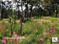 Blütezeit der rosaroten und weißen Curcuma oder Thai Dok Krajieo genannt
